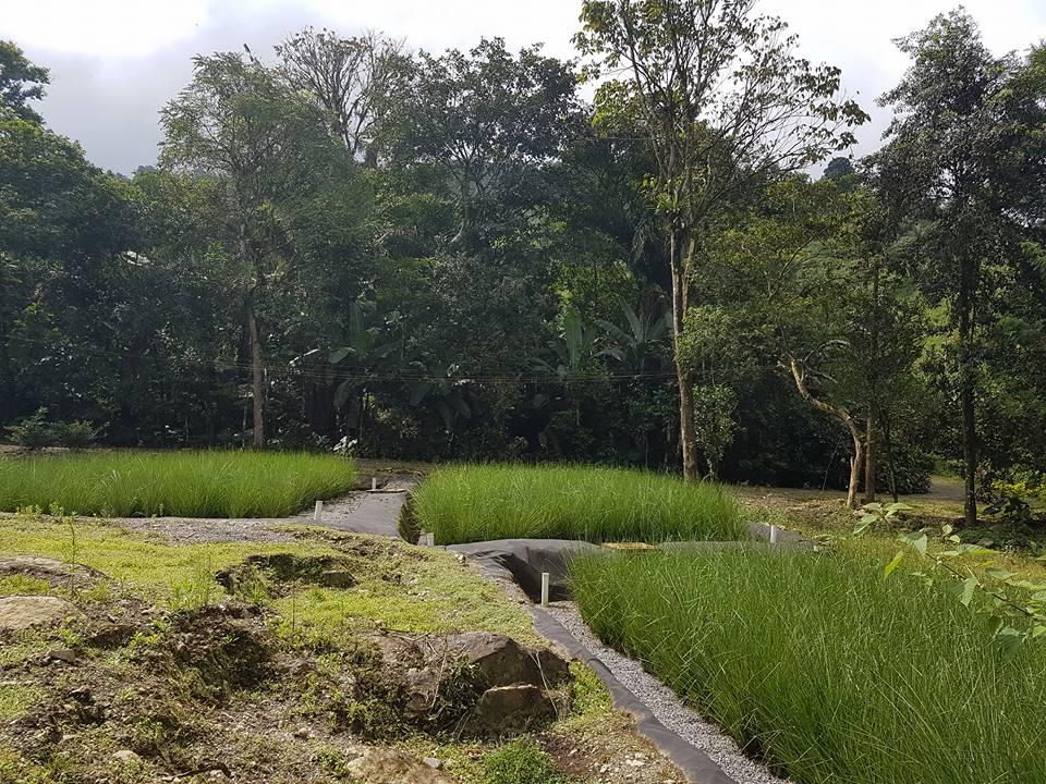 Vetiver absorbe toxinas en el suelo o el agua (incluyendo metales pesados, contaminantes radiactivos o productos derivados del petróleo) en un proceso llamado fitorremediación.