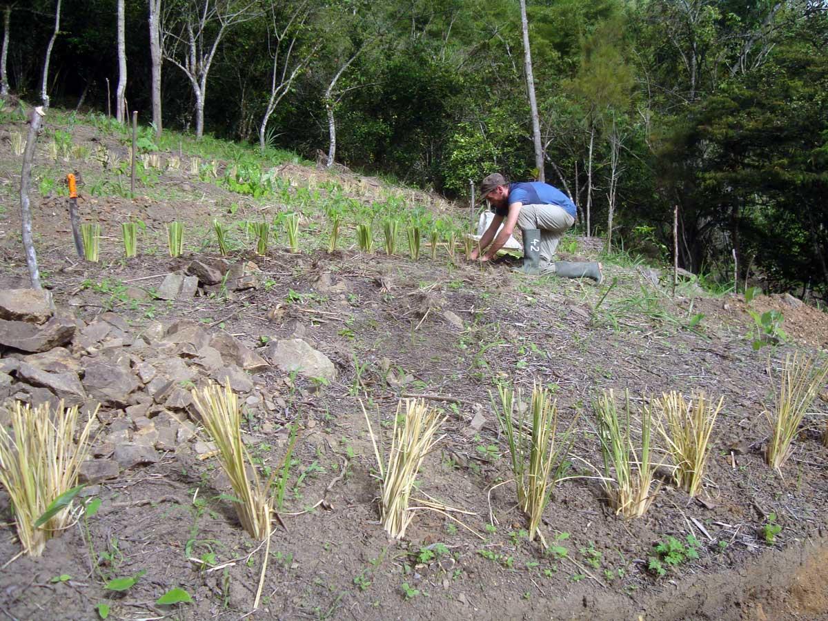 Vetiver se reproduce vegetativamente porque no produce semillas viables. Consecuentemente, la manera de formar barreras es de plantar las cepas en líneas, perpendicular a la pendiente (siguiendo las curvas a nivel).