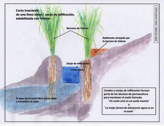 Vetiver tiene raíces que van verticalmente a dentro y anclan al suelo.